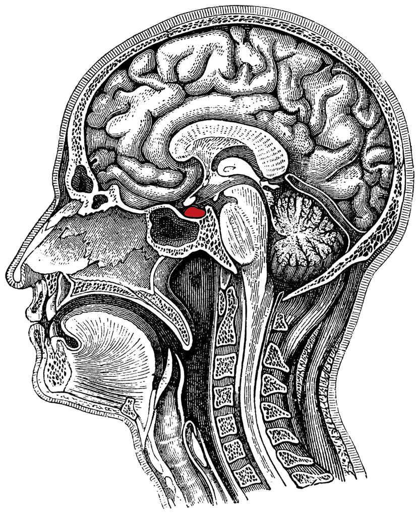 下垂体は、脳の正中部で蝶形骨の中心で、トルコ鞍と呼ばれる骨のくぼみに位置しており、重さ約700㎎、大きさ7~8mmの非常に小さな脳組織です。